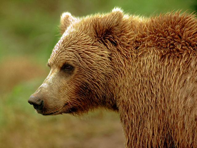 Звуки бурого медведя скачать бесплатно