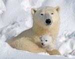 Детеныши белого медведя