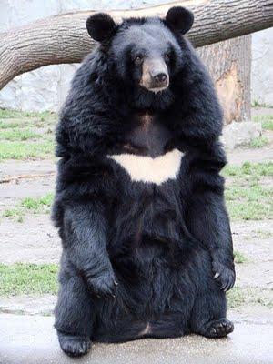 Гималайский медведь - удивительный мир животных