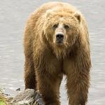 Brown_Bear_us_fish
