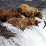 Рыбалка бурых медведей