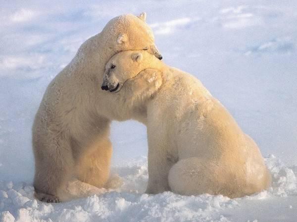 я люблю белых медведей трать