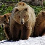 Жизнь бурого медведя
