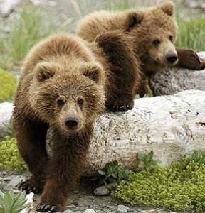 Образ жизни медведей