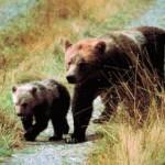 Бурые медведи в Канаде