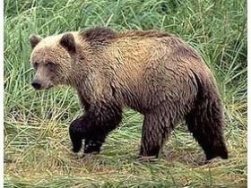 Кто он, медведь?