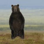 Что мы знаем о медведях?