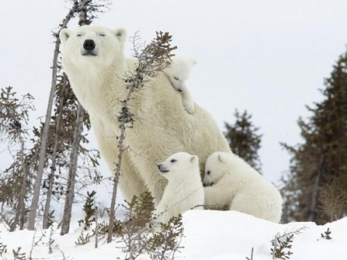 белых медведей 4