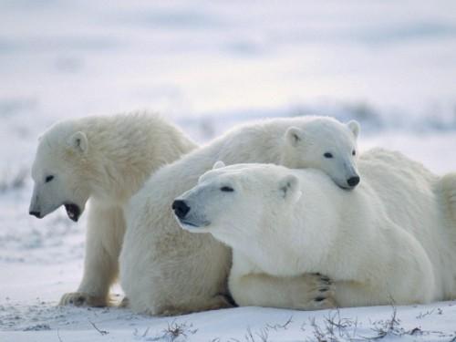 белых медведей