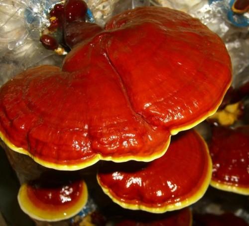 Применение и свойства целебного гриба Рейши