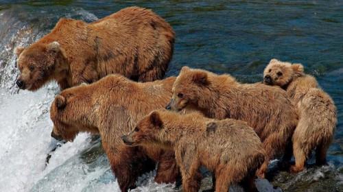 рыба и медведи 2