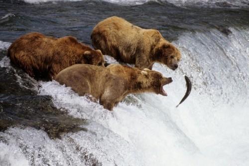 рыба и медведи 3