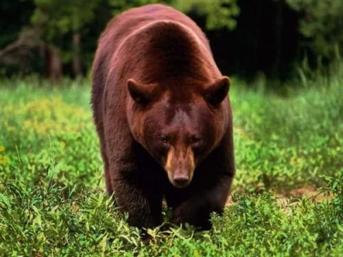 Европейские места обитания бурых медведей1