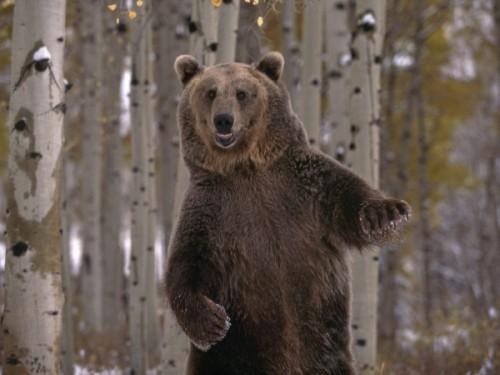 Как медведи любят друг друга1