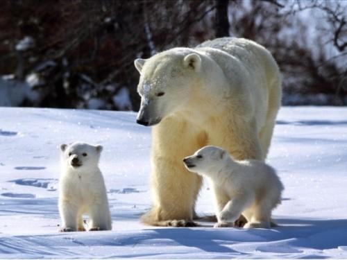 Как медведи любят друг друга3