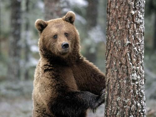 Медведи, обитающие на территории России3