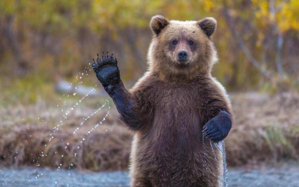 Под Кировском проснулись бурые медведи
