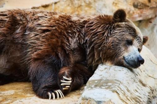 Насколько медведь опасен для человека?
