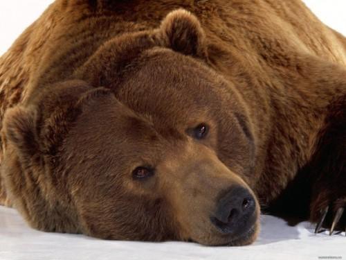 Разновидности медведей на территории Российской Федерации