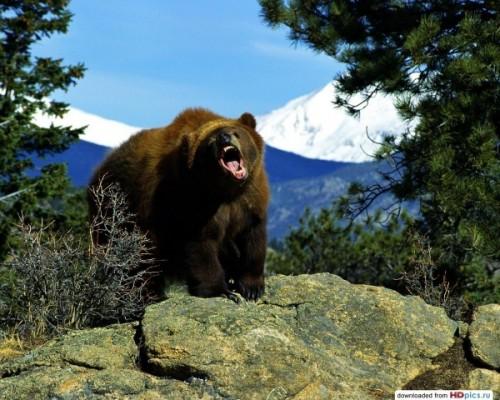 Спячка медведей. Воспитание потомства. 3