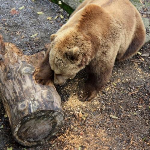 Уникальные особенности современных диких медведей3