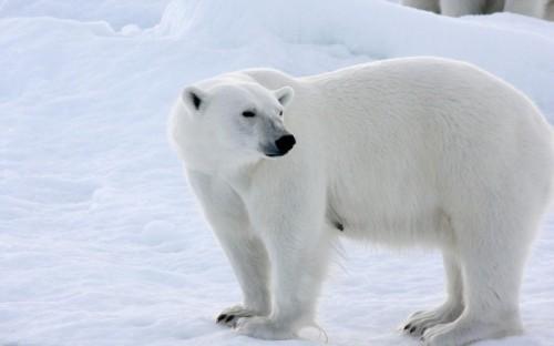Белые медведи: крупные и прожорливые хищники1