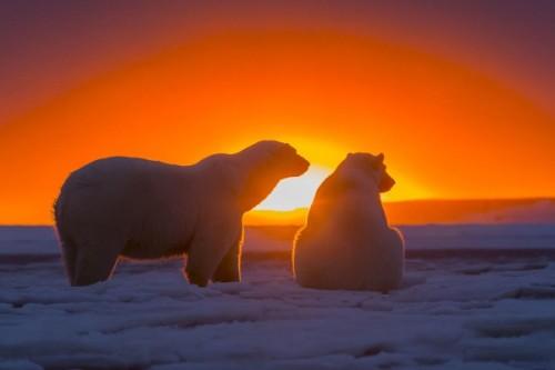 Белые медведи 5