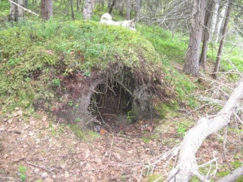 Берлога медведя: надежный зимний дом.