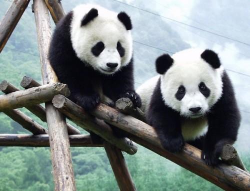 Большая панда 3