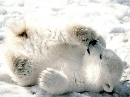 Жизнь Белого медведя3