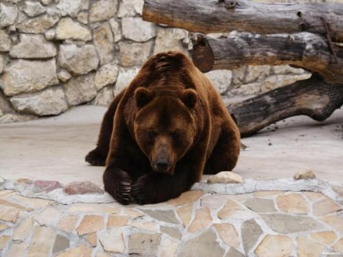 Как и чем питается бурый медведь1