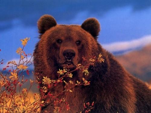 Медведь как символ нации 3