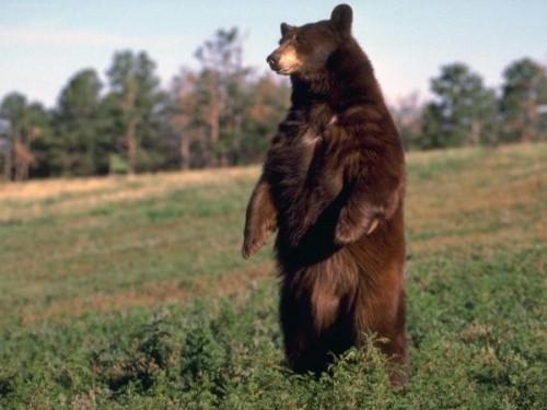 Медведь как символ нации