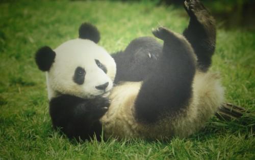 Национальное сокровище Китая - большая панда2