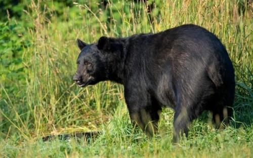 Обитание черных медведей или кто такой барибал
