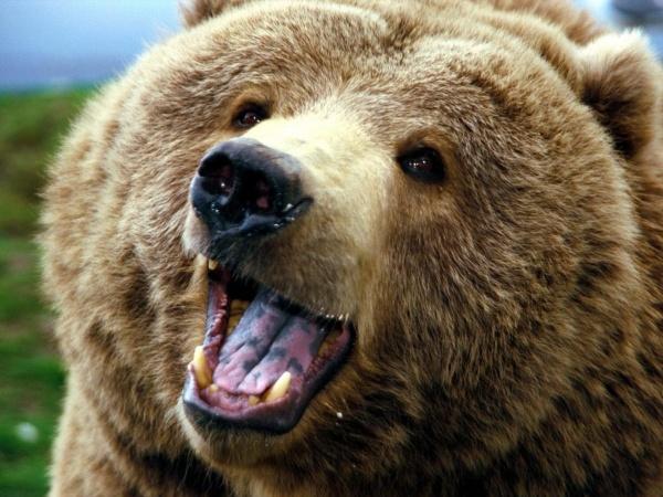 Картинки по запросу фото медведя