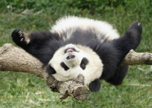 A Panda Once Faked Pregnancy To Get More Treats