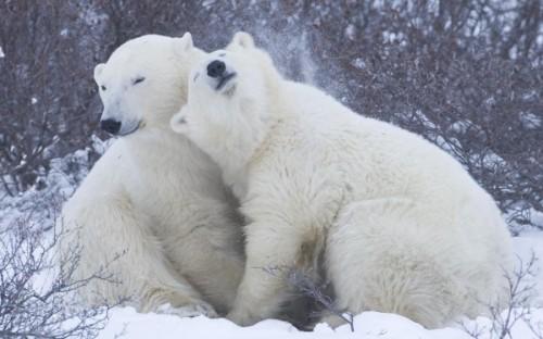 Полярные медведи и глобальное потепление