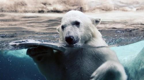 Суровый обитатель холодных арктических льдов2