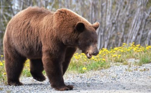 Ареал обитания таинственных и опасных медведей гризли2