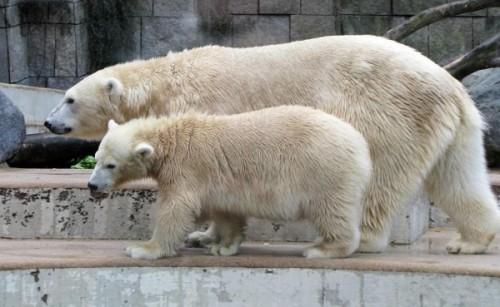 Белые медведи, какие они?2
