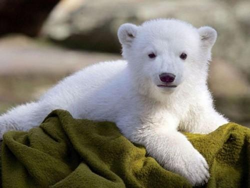 Белые медведи, какие они?3