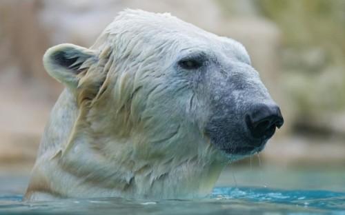 Белым медведям в Арктике не уютно