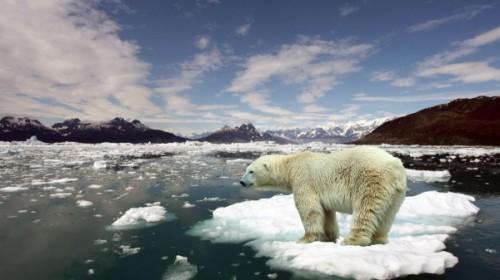 Белым медведям в Арктике не уютно 3