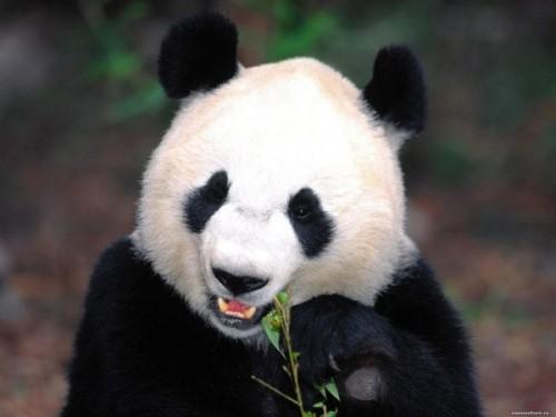 Большая панда3