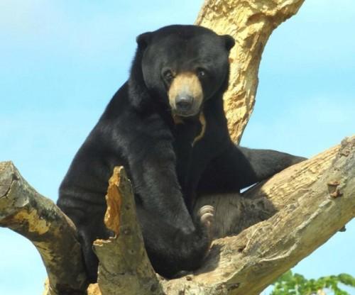 Вся правда о малайском медведе!