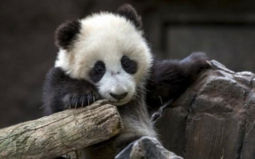 В каких местах обитают большие панды3