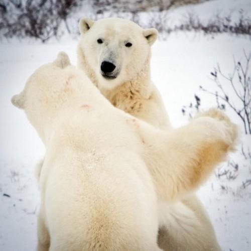 Как живут медведи среди людей