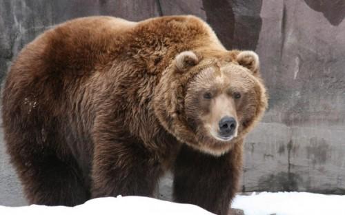 Образ жизни лесного бурого медведя3