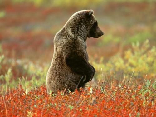 Общие сведения о медведе гризли.3